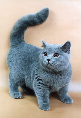 русская голубая кошка фото описание